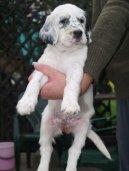 Photo: English setter (Dog standard)