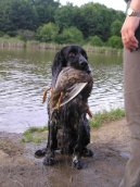 Photos: English springer spaniel (Dog standard) (pictures, images)
