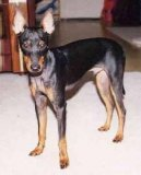 Photo: English toy terrier (Dog standard)