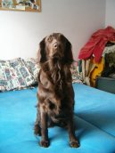 Photos: Flat coated retriever (Dog standard) (pictures, images)