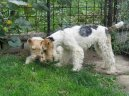 Photos: Fox terrier wire (Dog standard) (pictures, images)