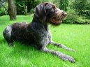 Photo: German roughhaired pointing dog (Dog standard)