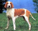Photo: Great anglo-french white and orange hound (Dog standard)