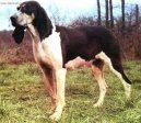 Photo: Great anglo-french white (Dog standard)
