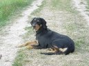 Photo: Hungarian hound - transylvanian scenthound (Dog standard)