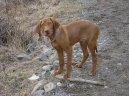 Photos: Hungarian short-haired pointer (vizsla) (Dog standard) (pictures, images)