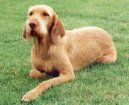 Photo: Hungarian wire-haired pointer (vizsla) (Dog standard)