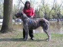 Photos: Irish wolfhound (Dog standard) (pictures, images)