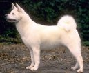 Photos: Japanese akita (Dog standard) (pictures, images)