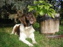 Photo: Kleiner munsterlander (Dog standard)