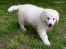Photo: Kuvasz (Dog standard)