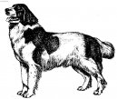 Photo: Landseer (Dog standard)