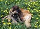 Photo: Leonberger (Dog standard)
