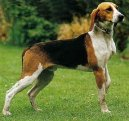 Photo: Medium-sized anglo-french hound (Dog standard)