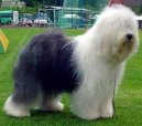 Photos: Old english sheepdog (bobtail) (Dog standard) (pictures, images)