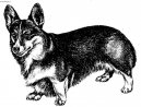 Photo: Pembroke welsh corgi (Dog standard)