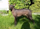 Photo: Peruvian hairless dog (Dog standard)