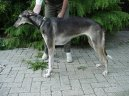 Photos: Polish greyhound (Dog standard) (pictures, images)