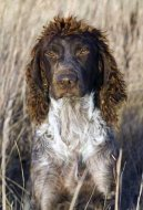 Photos: Pont-audemer spaniel (Dog standard) (pictures, images)