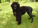 Photo: Portuguese water dog (Dog standard)