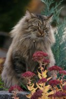Cats: Category II - Semi & Longhair