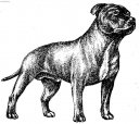 Photo: Staffordshire bull terrier (Dog standard)
