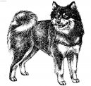 Photos: Swedish lapphund (Dog standard) (pictures, images)
