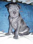 Photo: Thai ridgeback dog (Dog standard)