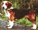 Photo: Westphalian dachsbracke (Dog standard)