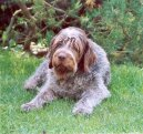 Photo: Wire-haired pointing griffon korthals (Dog standard)