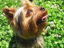 Photo: Yorkshire terrier (Dog standard)